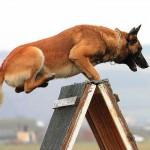 competitii canine - dogmaster